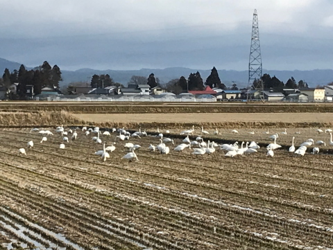 田んぼの白鳥さん