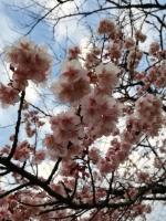 寒桜 上野公園2020.2.5 立春