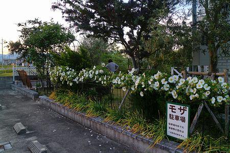 2垣根バラ