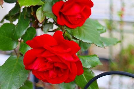 5紅いのバラ