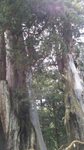 杉の大杉 補強部