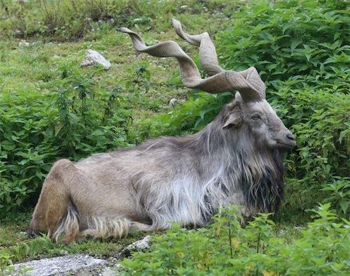 ヤギの王様と言われるマーコール。ヒマラヤ山脈aaDX1stZZVwAEGwlS
