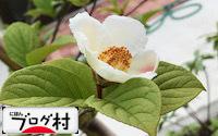 C-sharanoki_20191116081542844.jpg