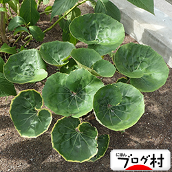 tuwabuki2.jpg