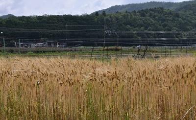 20028麦刈り (7)