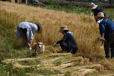 20028麦刈り (3)