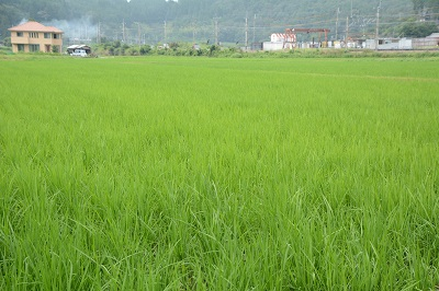 200804稲