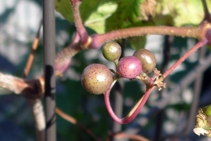 wild grape191111_b1