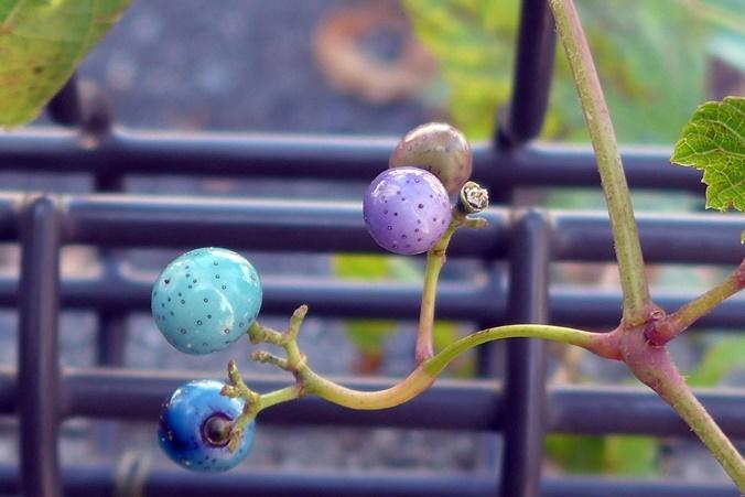 wild grape191111_b2