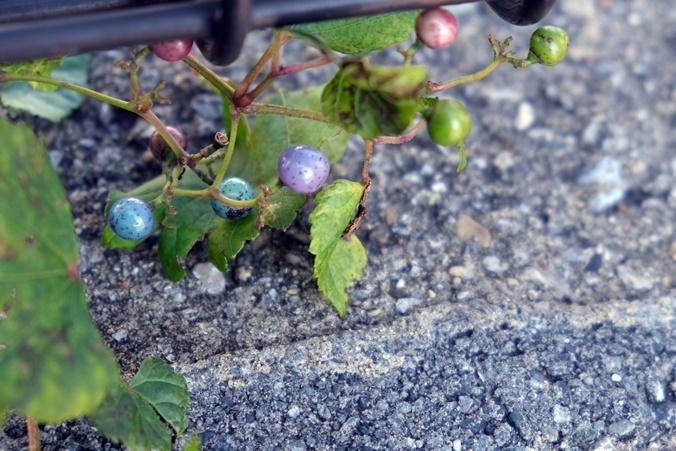 wild grape191111_b3