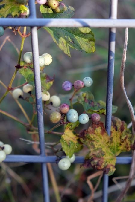 wild grape191111_a4