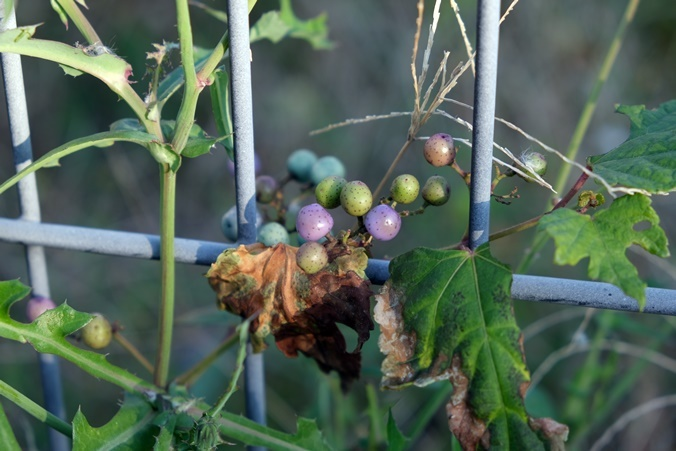 wild grape191111_a3