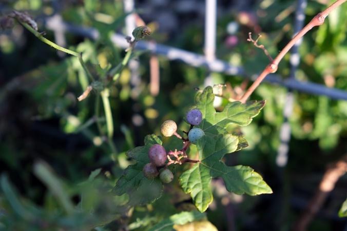 wild grape191111_a1