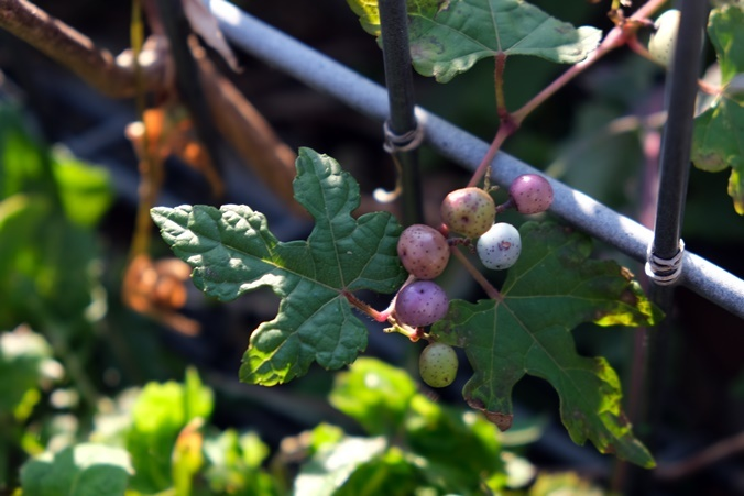 wild grape191111_a2