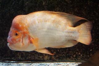 フラミンゴシクリッド(浅虫)