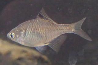 タイリクバラタナゴ雌(彩湖)
