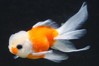 サクラアズマニシキ(小貝)