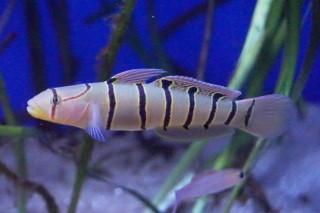 キヌバリ日本海側(浅虫)