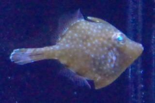 アミメハギ(群博)