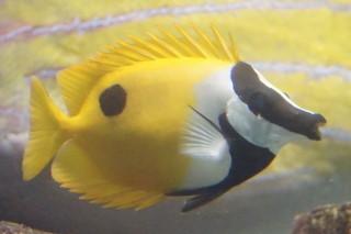 ヒフキアイゴ(浅虫)