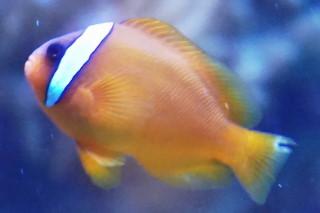 ハマクマノミ(海卵)
