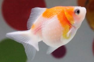 ピンポンパール(海卵)