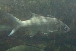 ツバメコノシロ(鴨川)