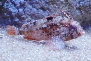 ハオコゼ(浅虫)