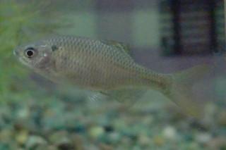 シロヒレタビラ雌(水上)