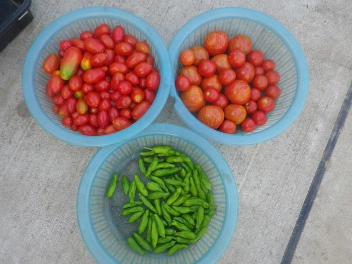 収穫1_20_08_09