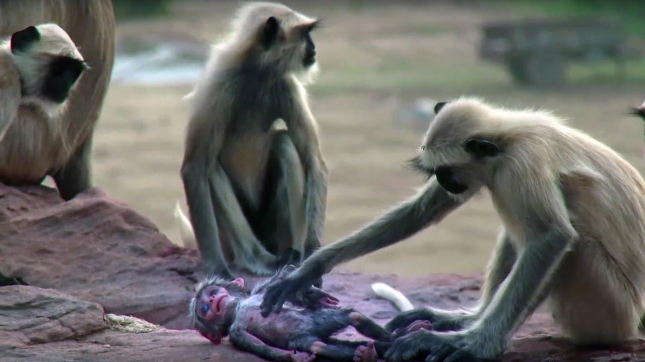 死んだ赤ちゃん猿!のようなサル観測用ロボットが酷い。。