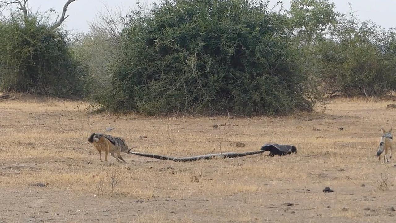 大蛇vsラーテルvsジャッカルの戦い!!