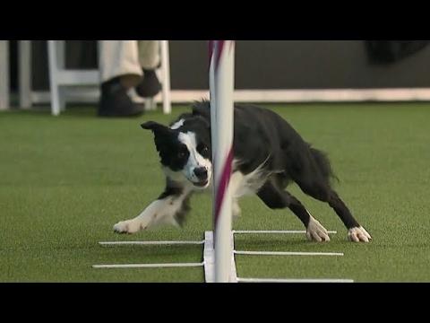 犬の障害物レース_01