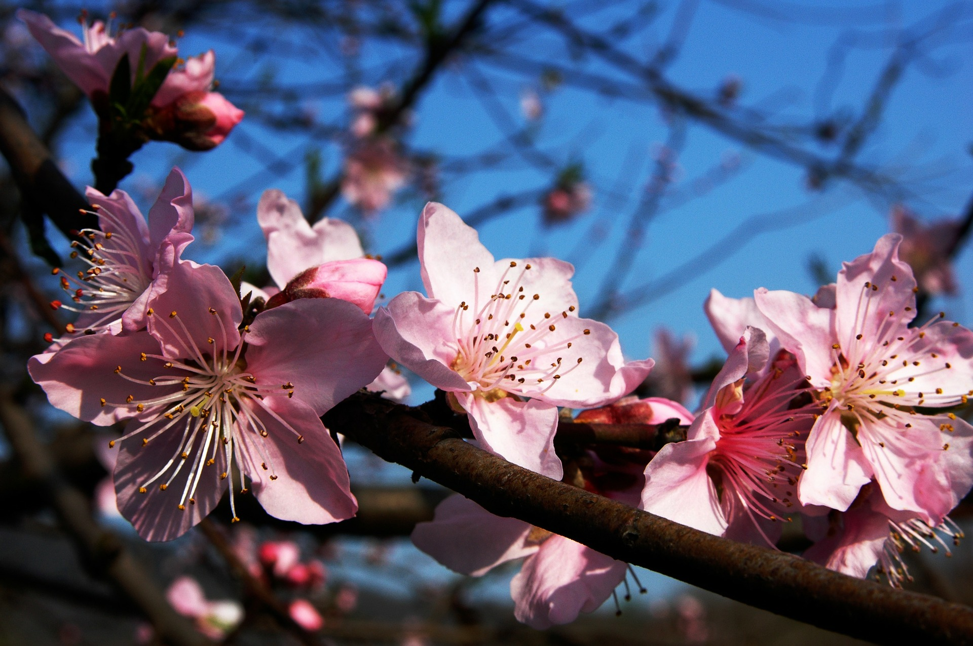 plum-blossom-283115_1920.jpg