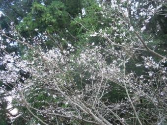 男坂下ってケーブル駅近く桜満開191208