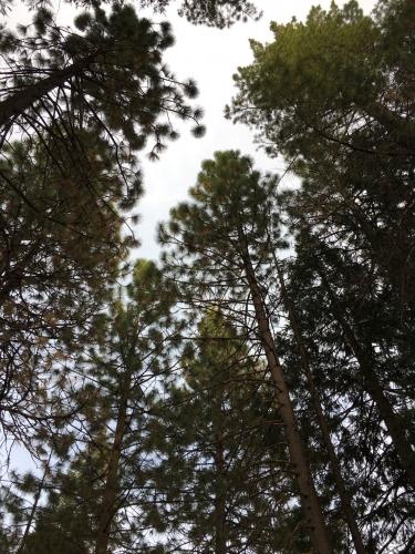 201911アメリカ_松の木1