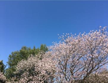 20200317桜B