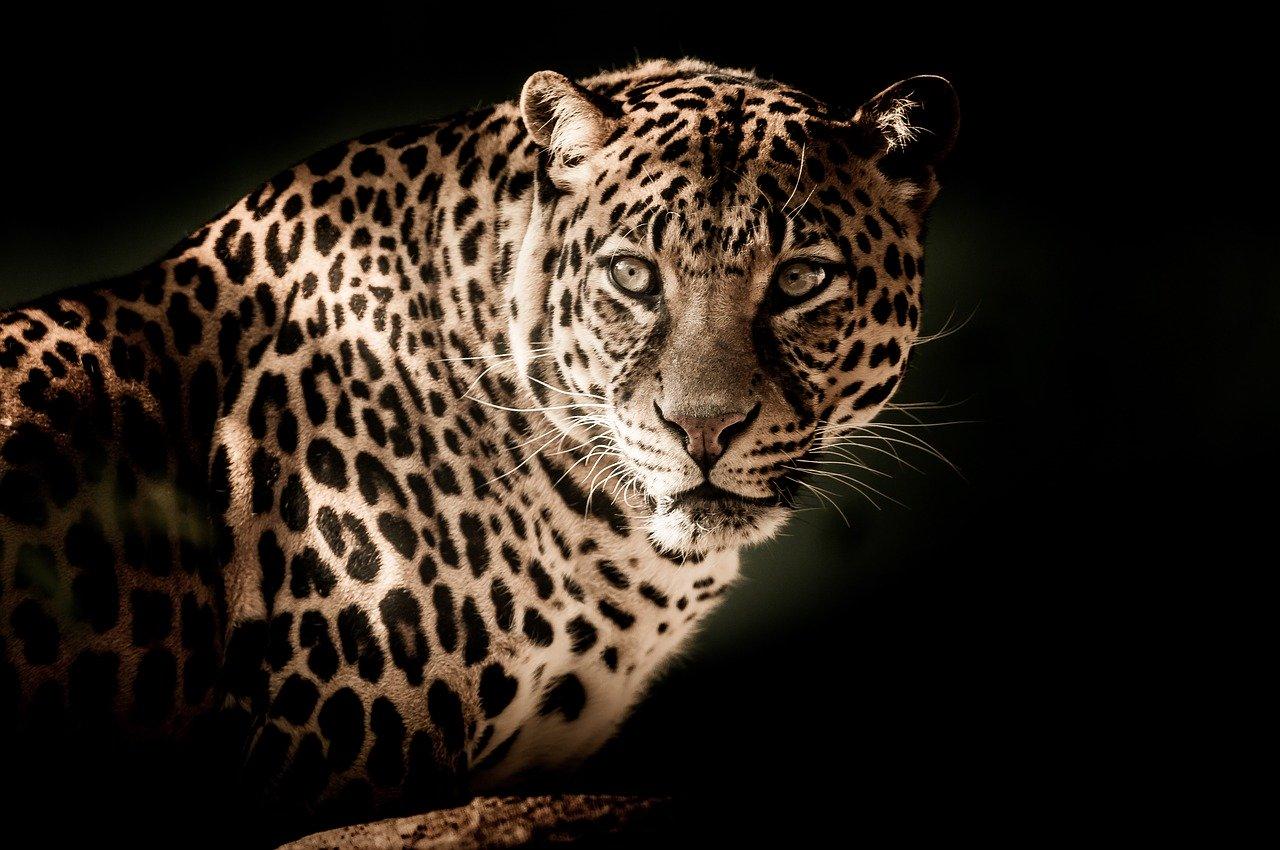 leopard-2895448_1280.jpg