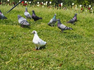白い鳩 マイノリティ 旭川整理収納アドバイザー佐々木亜弥 はぴごら