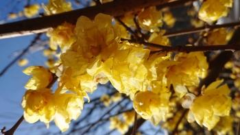 2020.01.13ろうばいの花