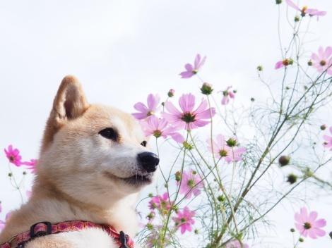 さくらと秋桜