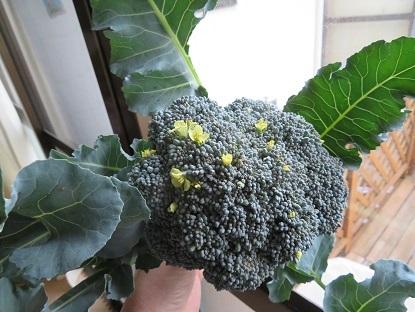 プランター栽培2個目のブロッコリーさん花咲いてた!!
