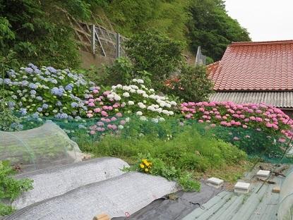 紫陽花が今年もどっか~ん!!です