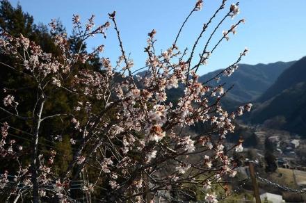 源寿院の桜