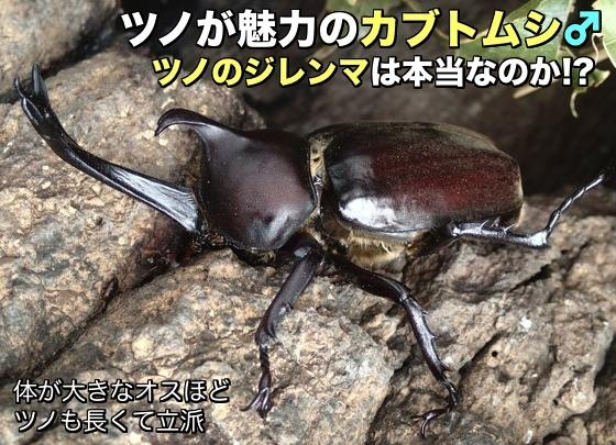 01カブトムシ♂角長