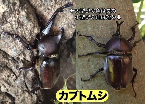 02カブトムシ♂角比較
