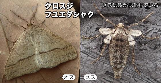 01黒筋冬枝尺♂♀F