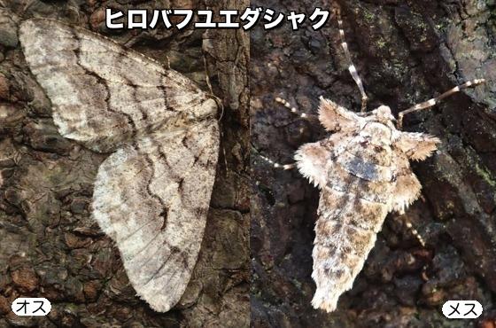 05広翅冬枝尺♂♀F