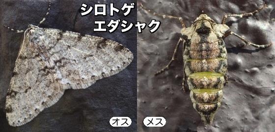 08白棘枝尺♂♀F