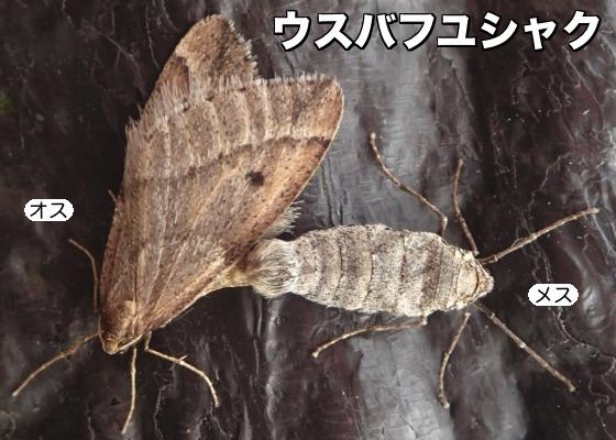 12薄翅冬尺♂♀F